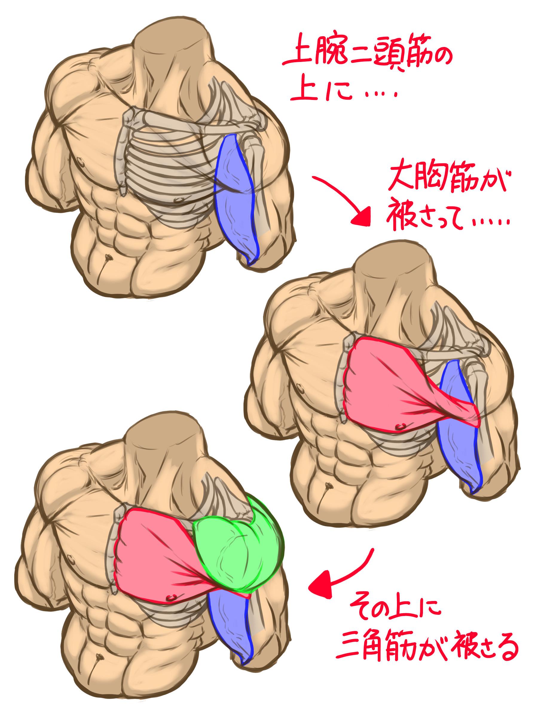 まず、上腕二頭筋の上に上腕骨につながる大胸筋が被さり、その上に三角筋が覆いかぶさっています。なので、大胸筋は常に上腕二頭筋と三角筋に挟まれて動くことになります。
