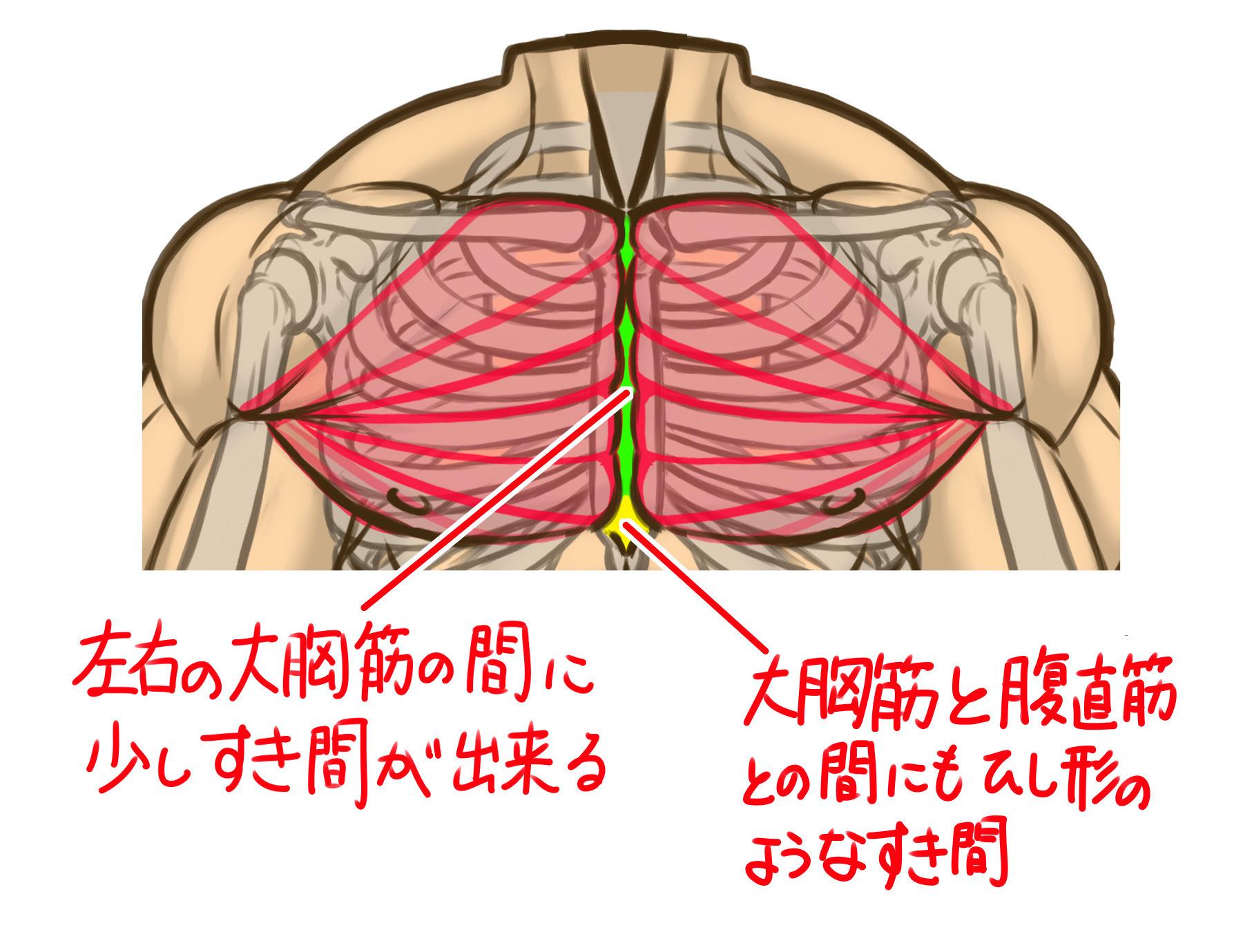 左右の大胸筋同士はピッタリくっついているのではなく、少し隙間をあけて胸骨が少し見える形でくっついていて、大胸筋と腹直筋の間にもひし型(三角)の隙間があいています。