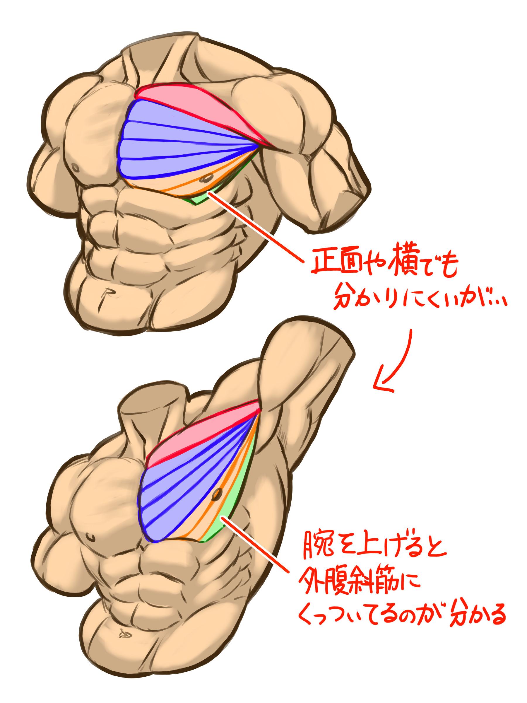大胸筋下部の外腹斜筋から上腕骨にかけての部分はほぼ隠れて見えませんが、腕を上に上げたときに腹筋の上側にくっついて見えると思います。