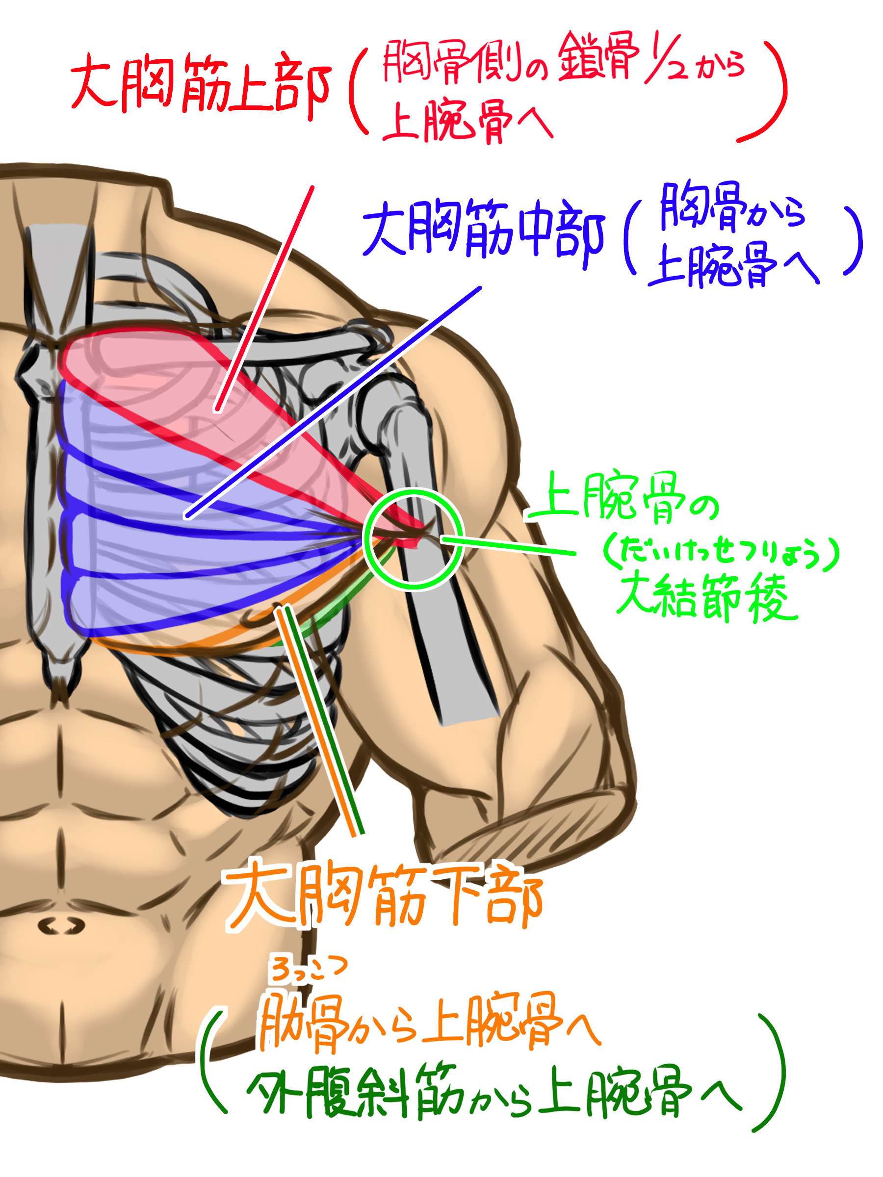 大胸筋は、筋肉の分け方として大胸筋上部、大胸筋中部、大胸筋下部に分けられ、このつすべてが上腕骨の大結節稜(だいけっせつりょう)という部分につながっています。大胸筋上部(胸骨側の鎖骨二分の一の部分から上腕骨にかけて) 大胸筋中部(胸骨部分から上腕骨にかけて) 大胸筋下部(肋骨から上腕骨にかけて、外腹斜筋から上腕骨にかけて)