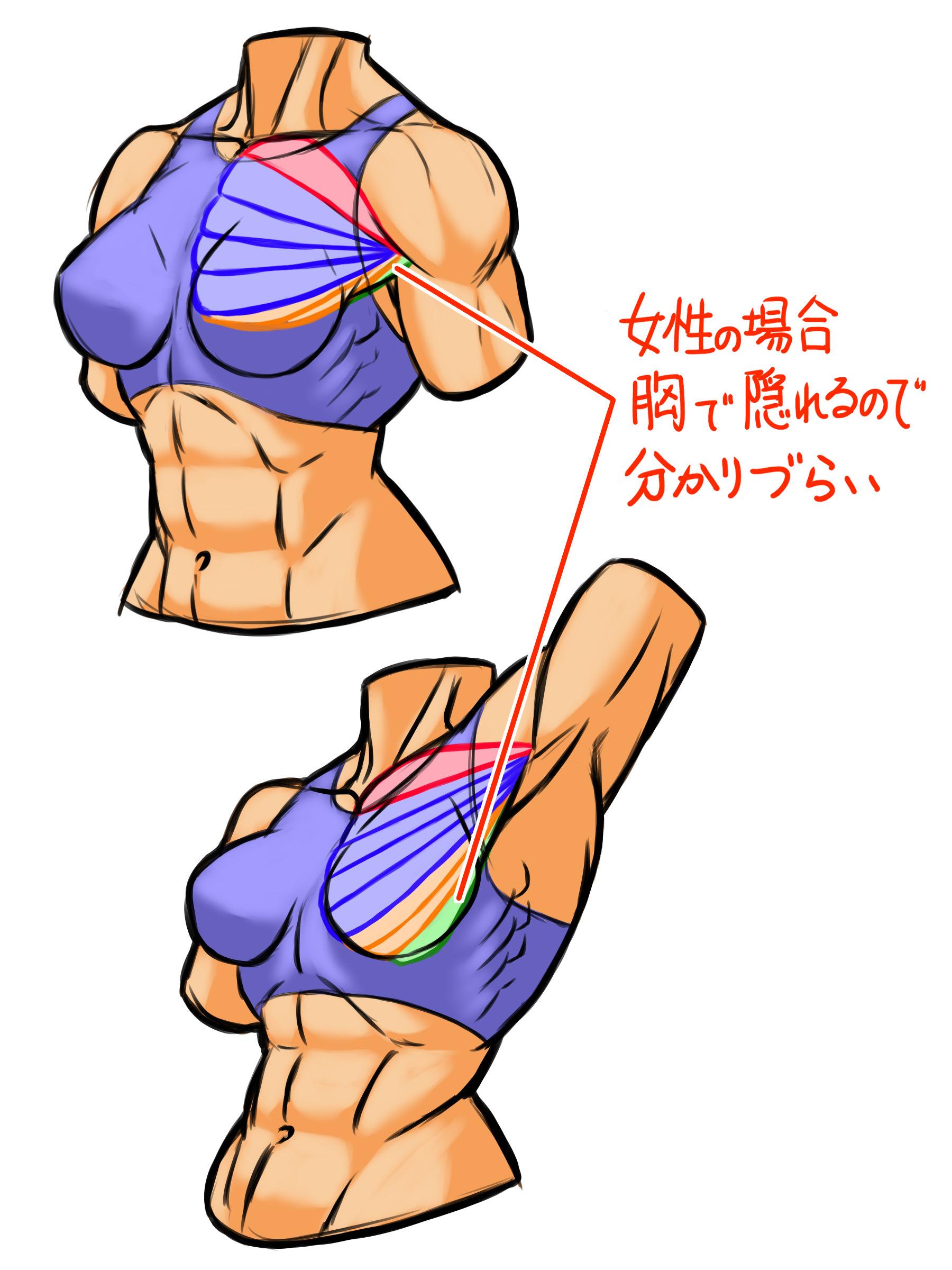 女性の場合も骨格などの大きさ形は違うものの構造は同じですが、外腹斜筋から上腕骨へつながる筋肉は胸がある分わかりにくいかもしれません。