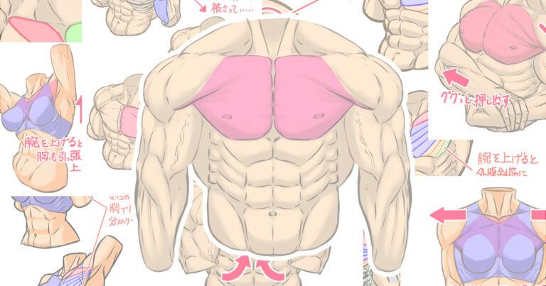 筋肉イラストの描き方、第一回『大胸筋』