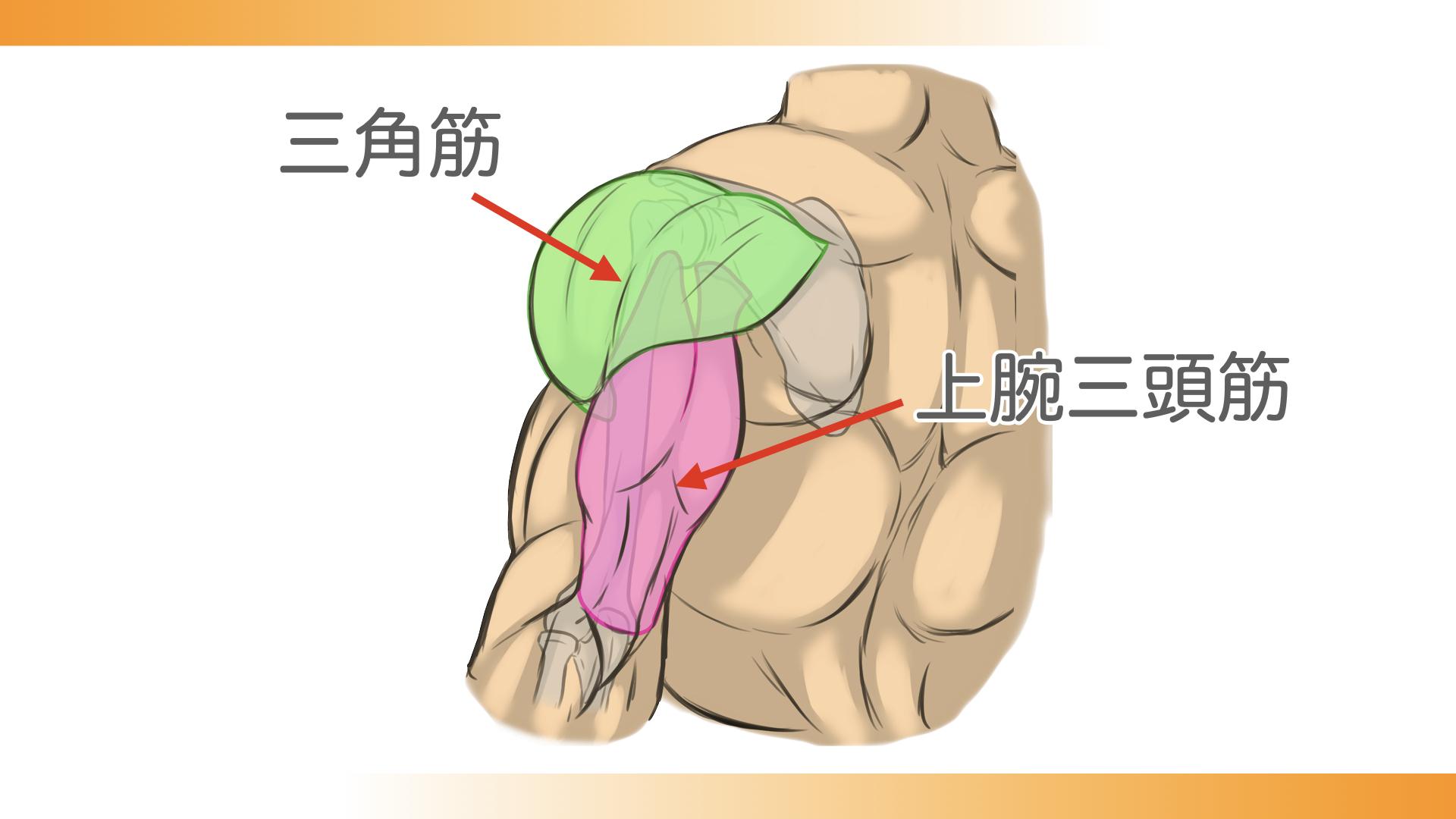 上腕三頭筋の上に三角筋が回り込む形で覆いかぶさっています。