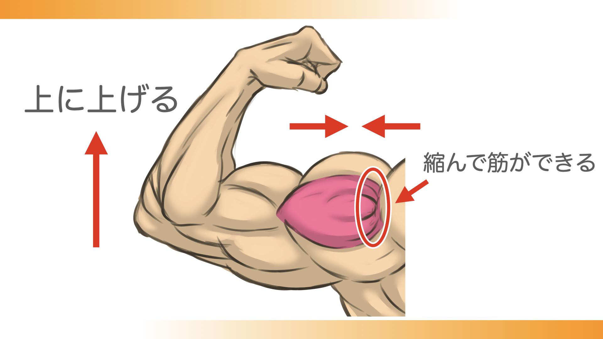 腕を上げると、三角筋中部が縮んで、肩峰側に筋ができる