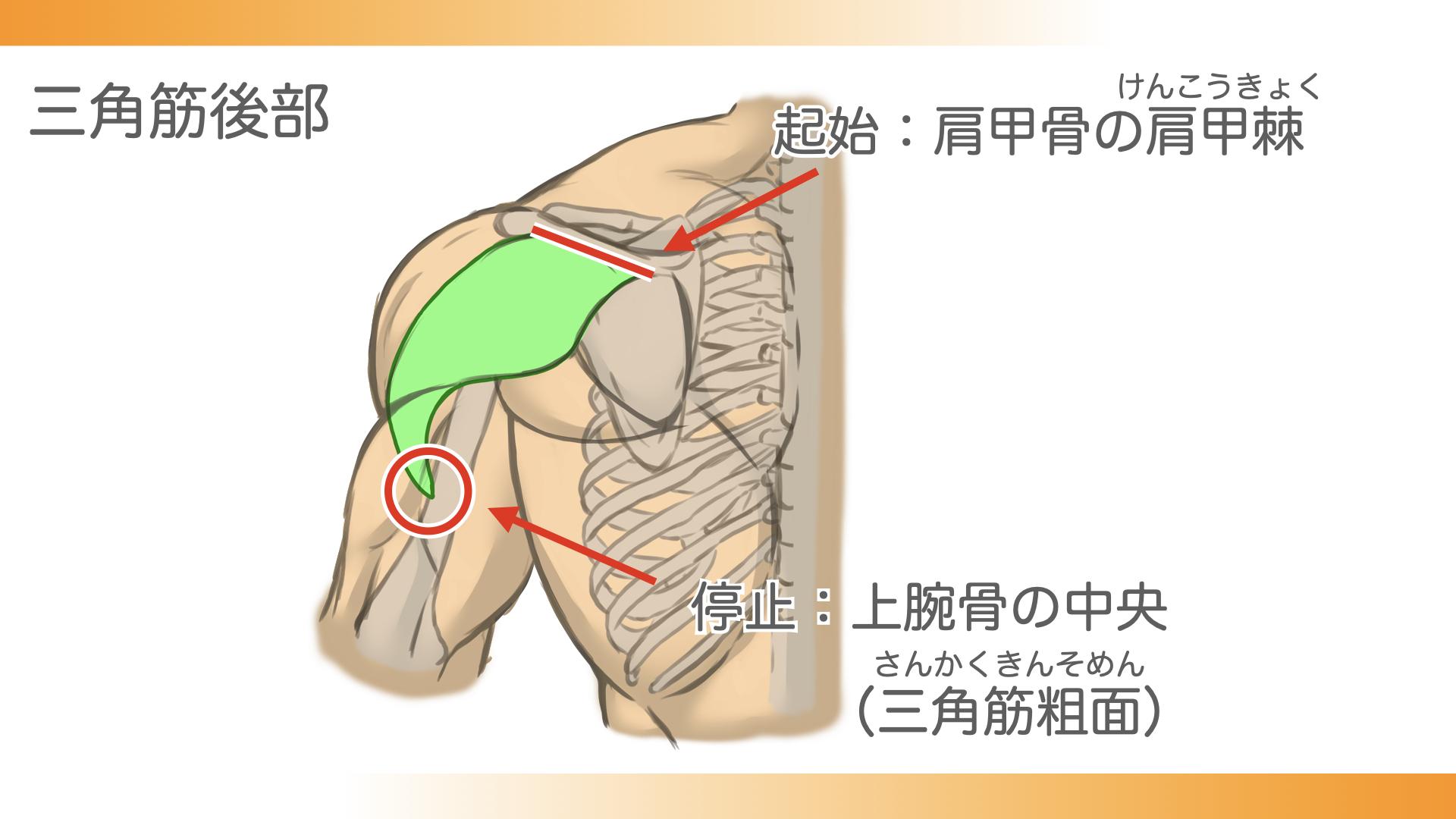 三角筋後部は、肩甲骨の肩甲棘という部分から、上腕骨の中央、三角筋粗面につながっています