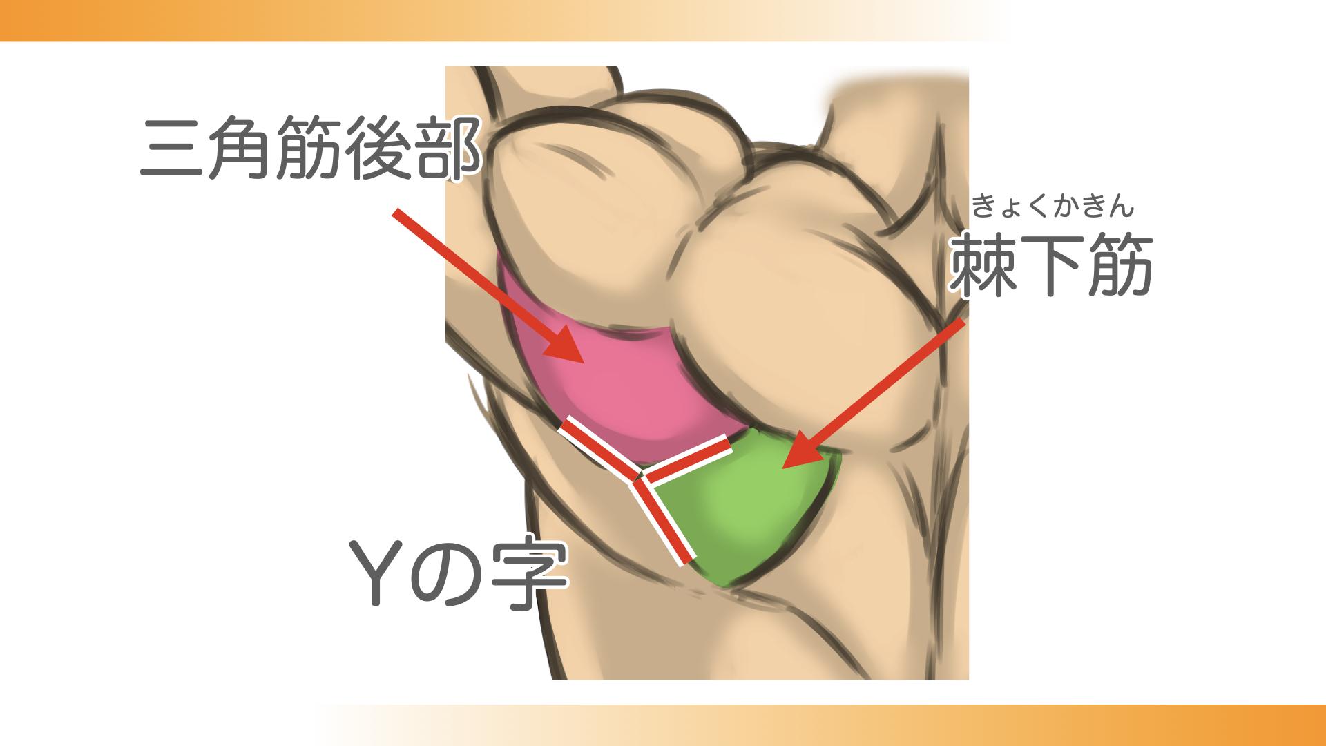 三角筋後部と棘下筋が交わってYの字に見える