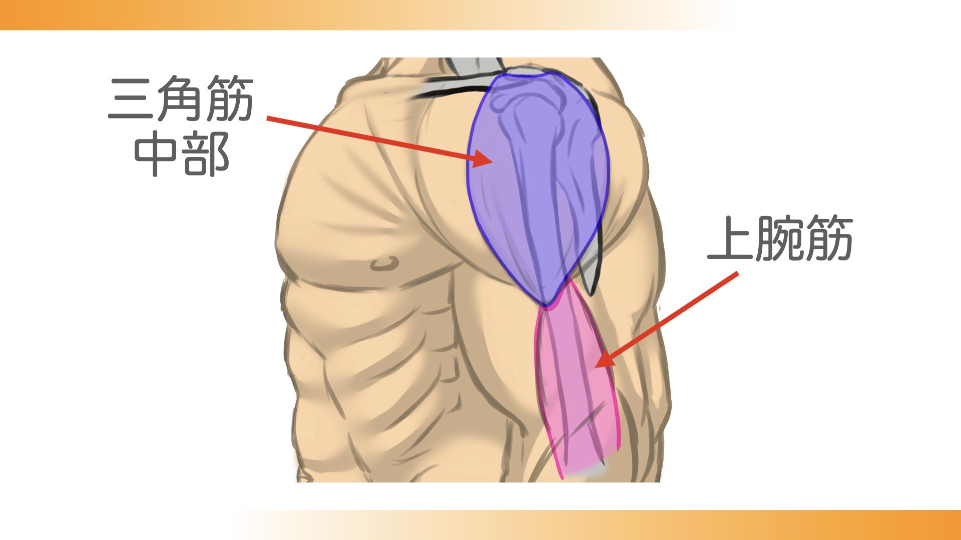 三角筋中部が三角筋粗面につながっている下に上腕筋がつながっています。