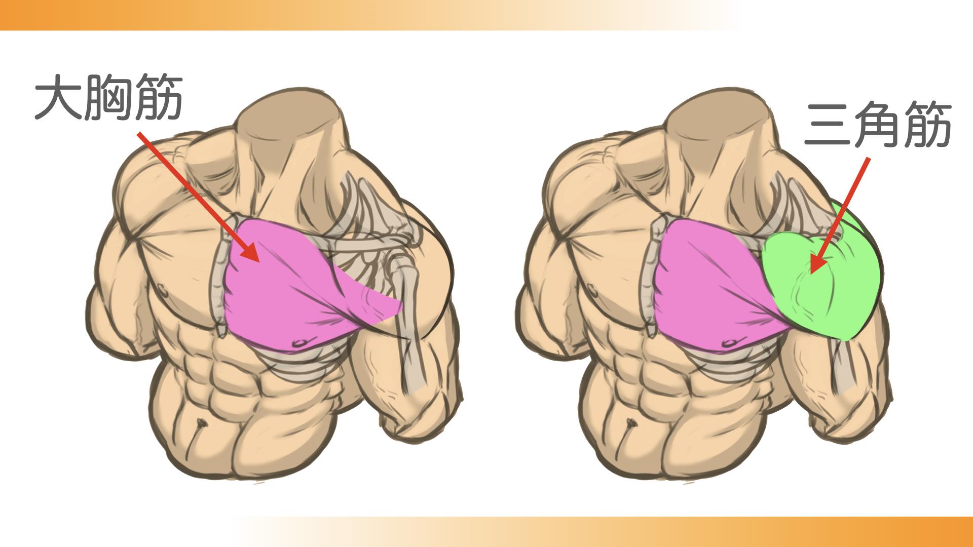 大胸筋が上腕骨につながっていて、その上から三角筋が覆いかぶさってついています。