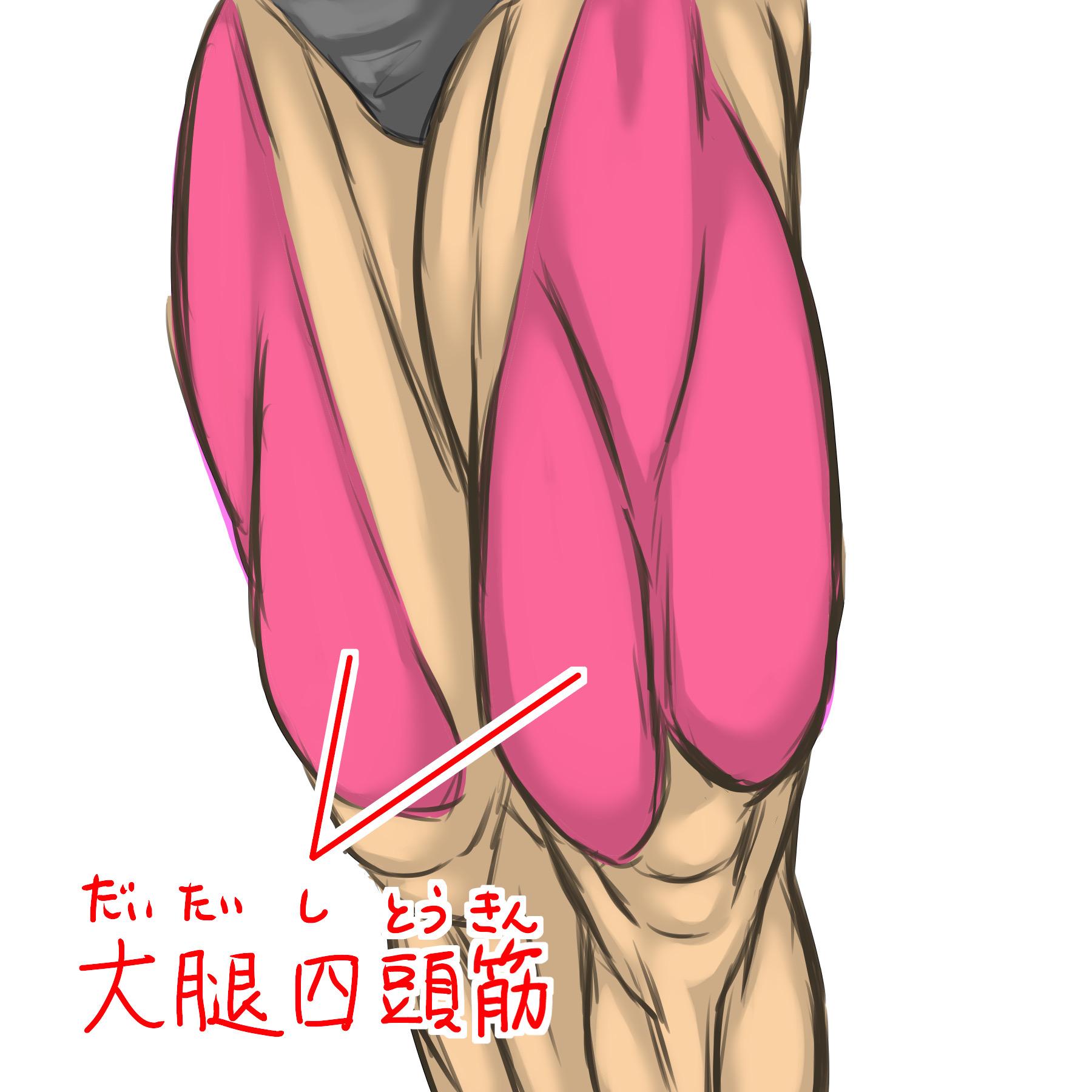 大腿四頭筋のイラスト