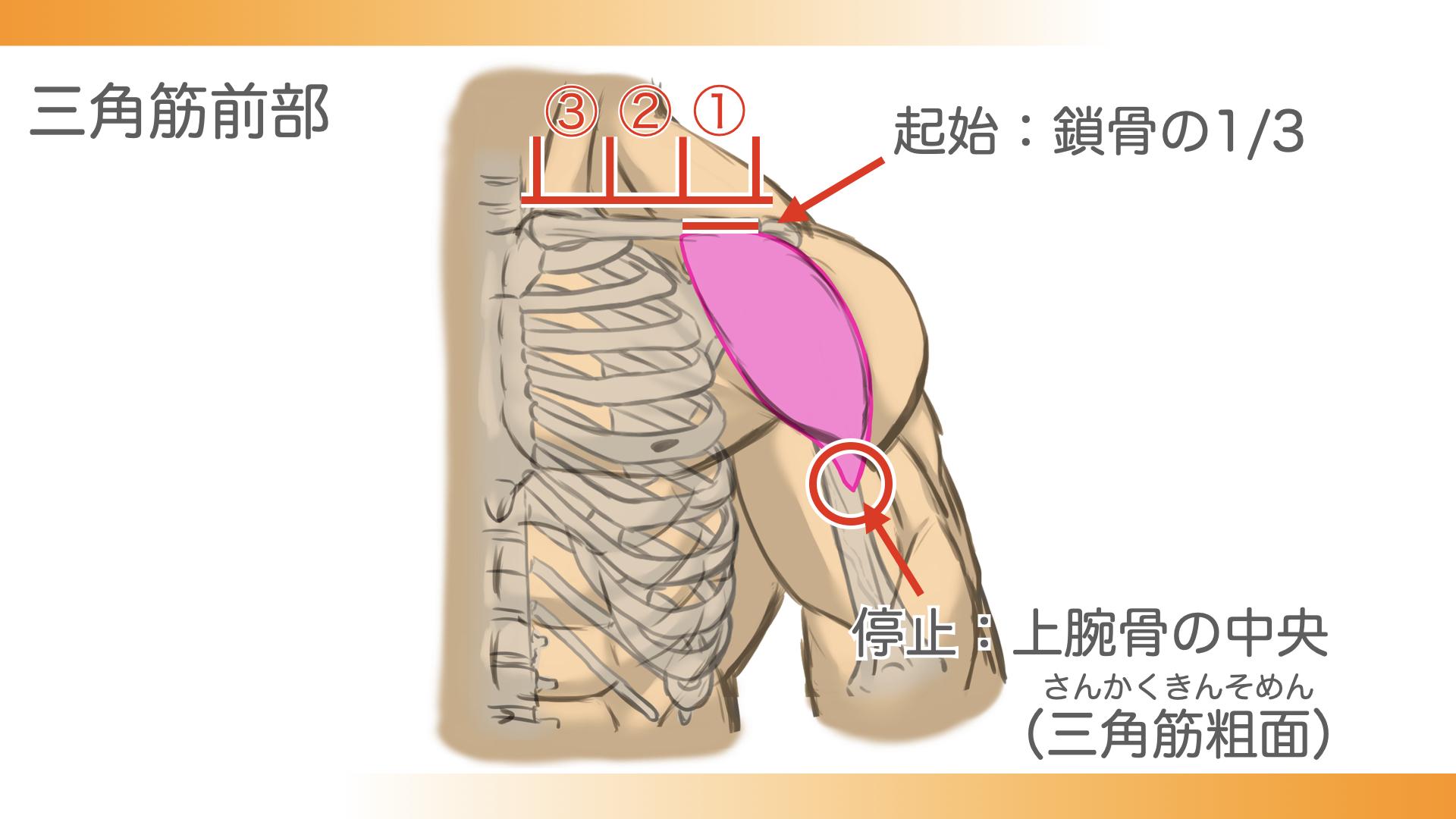 三角筋前部は鎖骨三分の一の部分から、上腕骨の中央、三角筋粗面という部分につながっています。