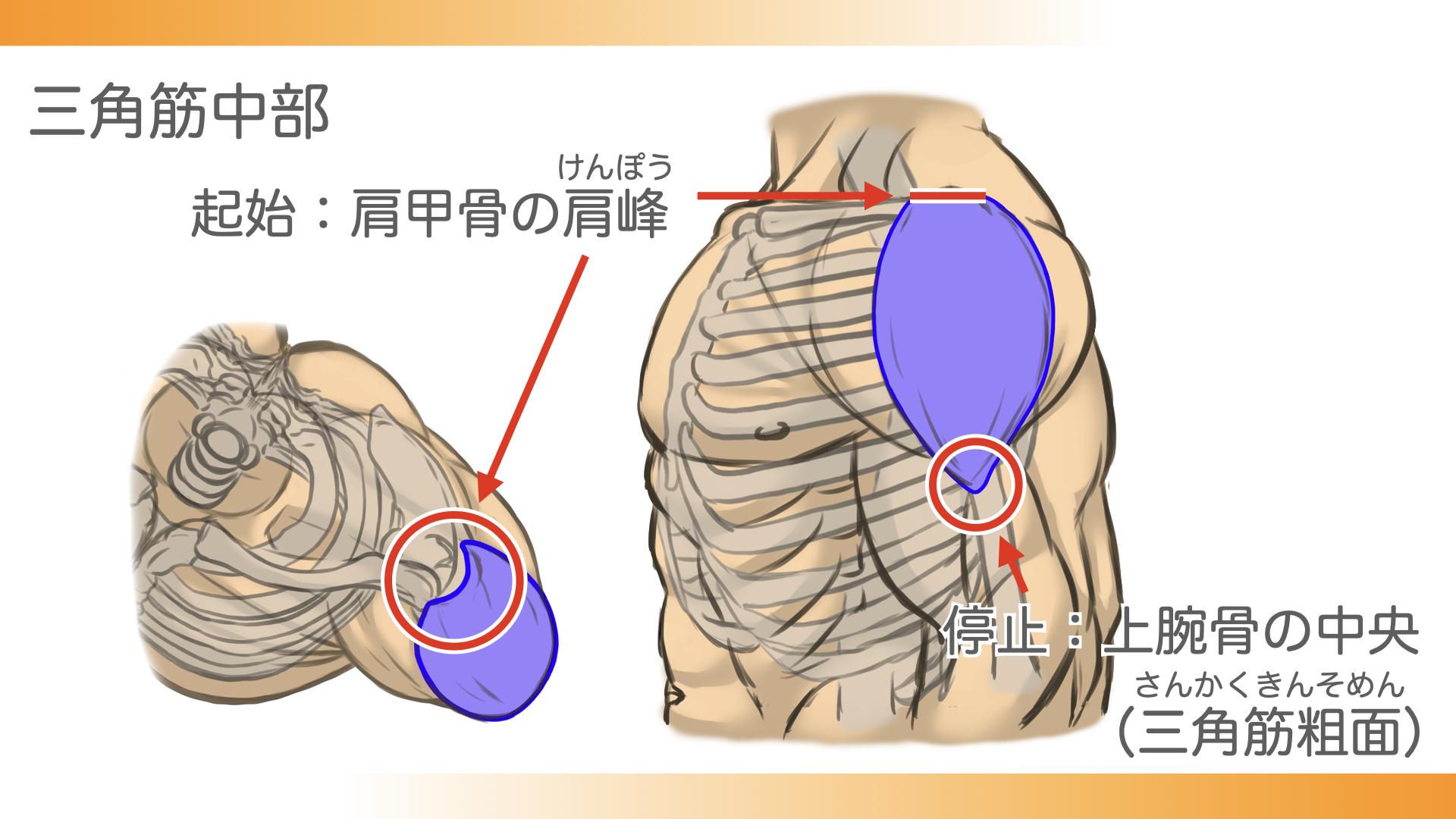 三角筋中部は、肩甲骨の肩峰という部分から、上腕骨の中央、三角筋粗面につながっています。